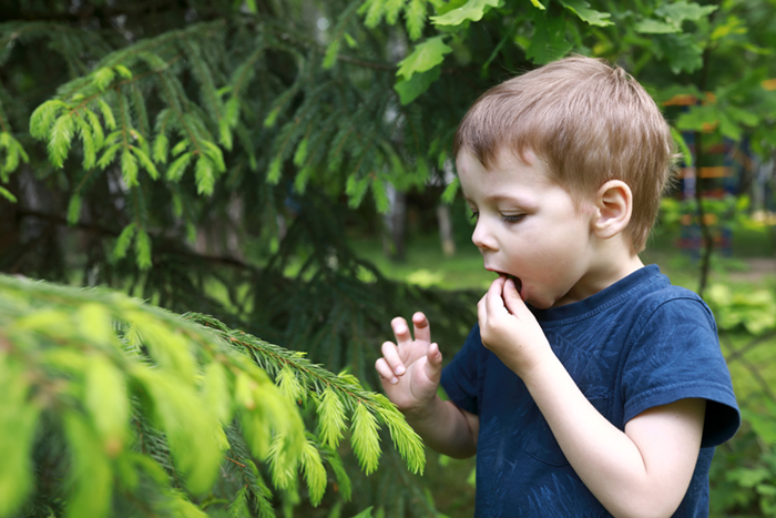 Child eating spruce
